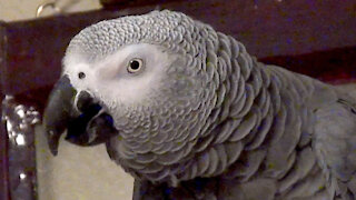 Vocal parrot is fed up and tired waiting for dinner