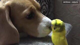 Cãozinho e periquito formam uma amizade improvável