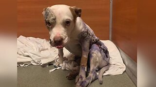 Preview: Severely abused dog recovering in Southwest Florida as rescue seeks justice
