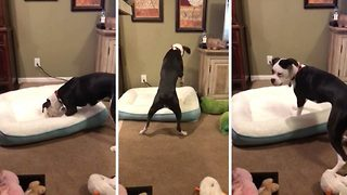 Bouncing boxer can't contain delight as she tests out new bed