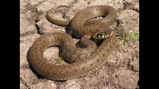 World's most poisonous snake enters house