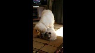 Great Pyrenees Puppy with Ragdoll Cat
