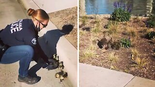 Police Officer scoops ducklings off road