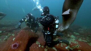 Scuba Divers Make Friends With Dogs Of The Sea As Countless Curious Sea Lions And Seals Play With Them