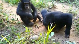 Chimpanzees see turtle for the first time!