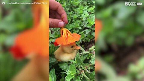 Patinhos bebé usam flores como chapéus!