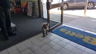 Koala walks into store and gets confused!