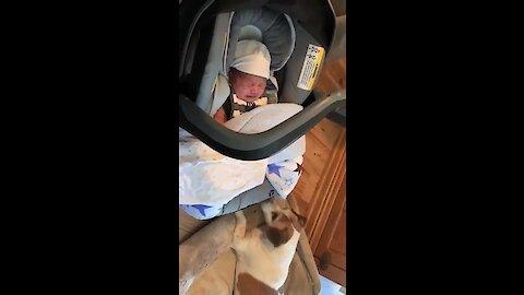 Dog Rocks Crying Baby Back To Sleep