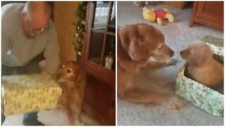 Dog receives a puppy for Christmas and is overcome by emotion