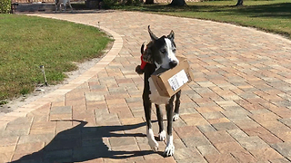 Great Dane happily delivers Amazon box right to her bed