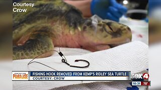 Vets remove fish hook from sea turtle's mouth