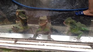 green iguana baby lives in the zoo