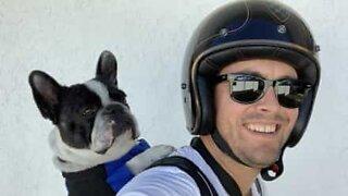 Este Buldogue francês adora andar de mota!