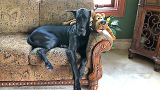 Great Danes Enjoy A Nap With Scooby Doo