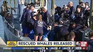 Rescued pilot whales released back into the Gulf after being found beached on Redington Beach