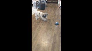 Cutest attack dog
