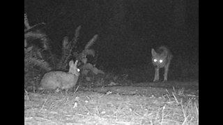 Coyote vs Rabbit
