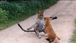 Leopard attack dog must watch
