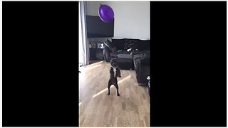 French Bulldog ferociously plays with balloon