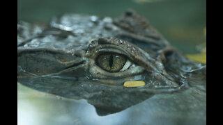 Crocodile Feeding at Australia Zoo Queensland Australia