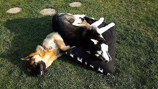 German Shepherd gets stuck under playful Husky