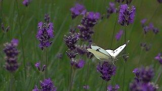 Butterfly gets leg stuck in flower in epic slow motion footage
