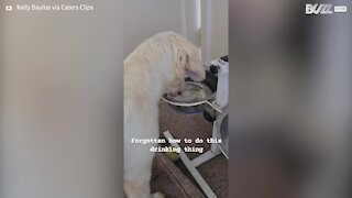 Dog forgets how to drink water