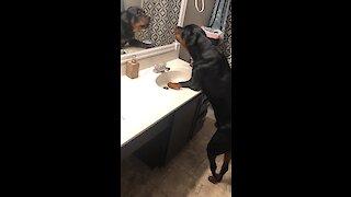 Big Doggy Barks At Reflection In Bathroom Mirror