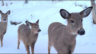 Deer Visit After Snowstorm