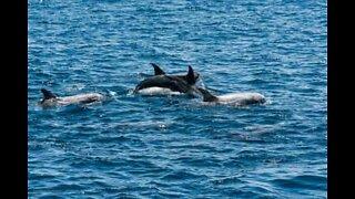 Delfiner svømmer ved siden av kajakker i Irland