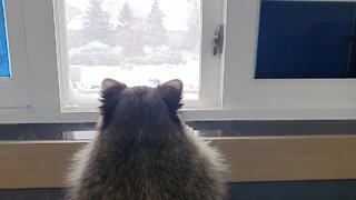 Pet raccoon loves to watch the snow falling outside