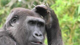 Tense clash of female gorillas at Bristol Zoo