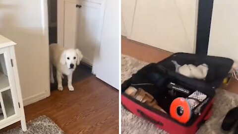 Adorable doggy packs favorite toy in owner's suitcase
