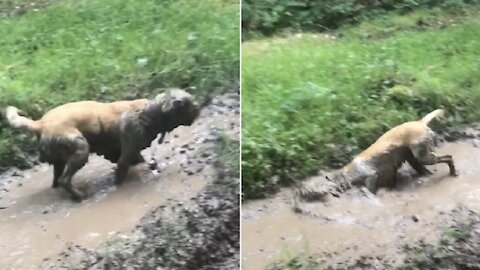 Filthy dog just can't stop rolling in the mud