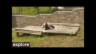 Panda rolling down hill ( very cute )
