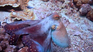 Crafty Octopus Changes Colour At The Drop Of A Hat To Camouflage Against Background