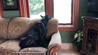 Comfy Great Danes Make Great Watch Dogs