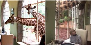 Giraffes eat breakfast with hotel guests