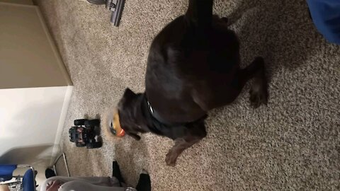 chocolate lab chasing rumble bee rc car