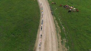 Cyclists and herd of cows