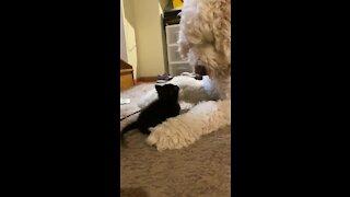Big dog preciously plays with tiny abandoned kitten