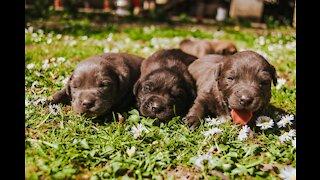 Filhotes de cachorro pinscher chorando