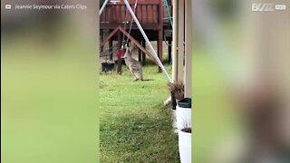 Un bébé kangourou s'amuse sur une balançoire