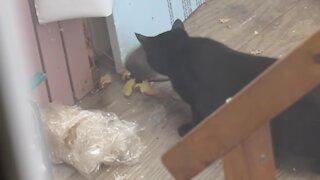 Big Cat Vs. Big Rat