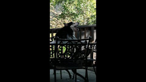 Husky yells with the other barking dogs