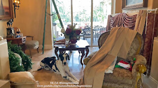 Nosy Great Dane Checks Out Creative DIY Decorating Drapery Project