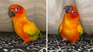 Parrot loves to run and play with owner under the sheets