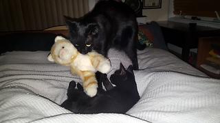 Black cat brings stuffed animal to bed
