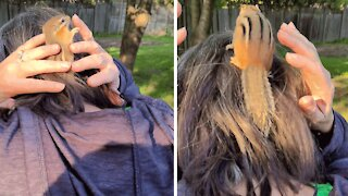 Chipmunk rescued from cat takes refuge in woman's hair