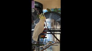Dancing cockatoo loves to show off his epic moves